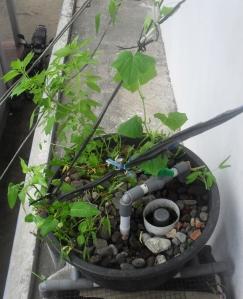 growbed setelah kangkung dipanen dan timun dalam akuaponik ember